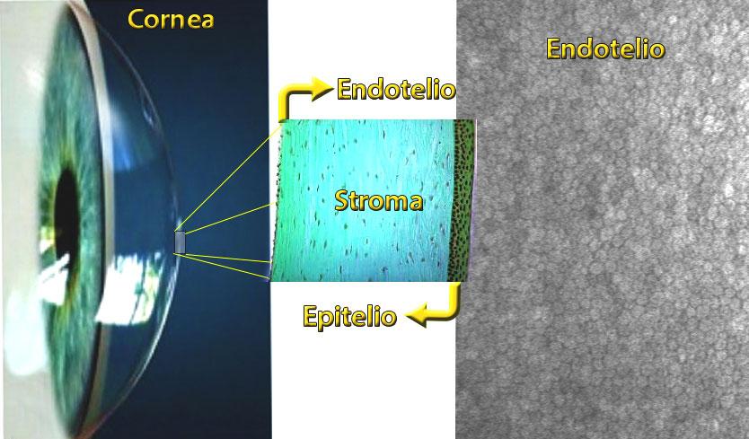 Conta endoteliale